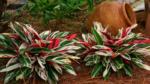 Комнатные цветы Строманта, уход в домашних условиях