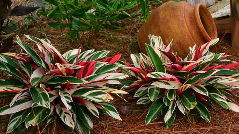 Комнатные цветы Строманта уход в домашних условиях