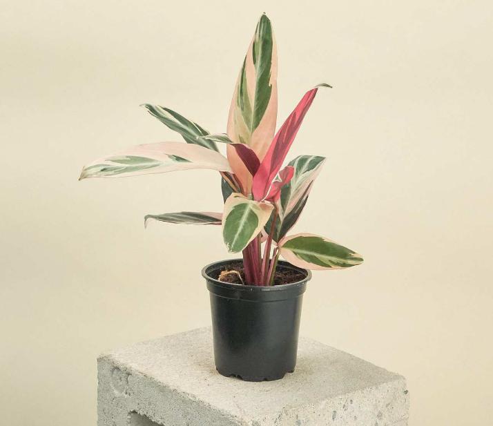 Растение комнатное строманта